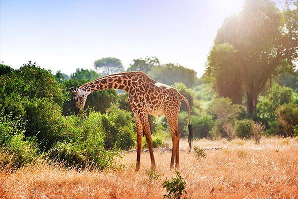 filomata-zyrafa